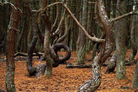 Пьяный лес. он же - Танцующий лес, Ведьмин лес. аномальная зона