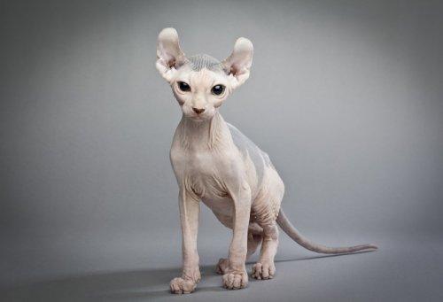 Самые дорогие породы кошек. эльф, керл, саванна и другие...